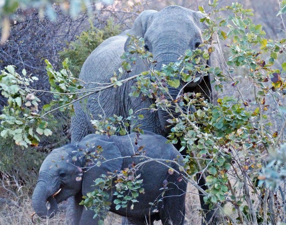 Elephant Elephant Nature Park Elephant Trekking Elephant ♥ Elephantlove Elephants Herbivorous Nature