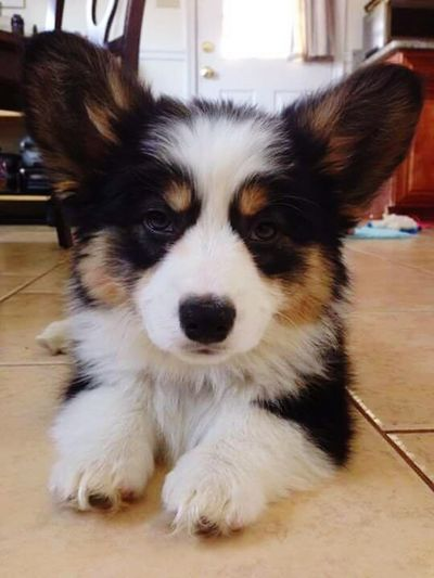 Aww puppy eyes Puppies Corgi Sweet♡ Awwwwww!!!!!!!!