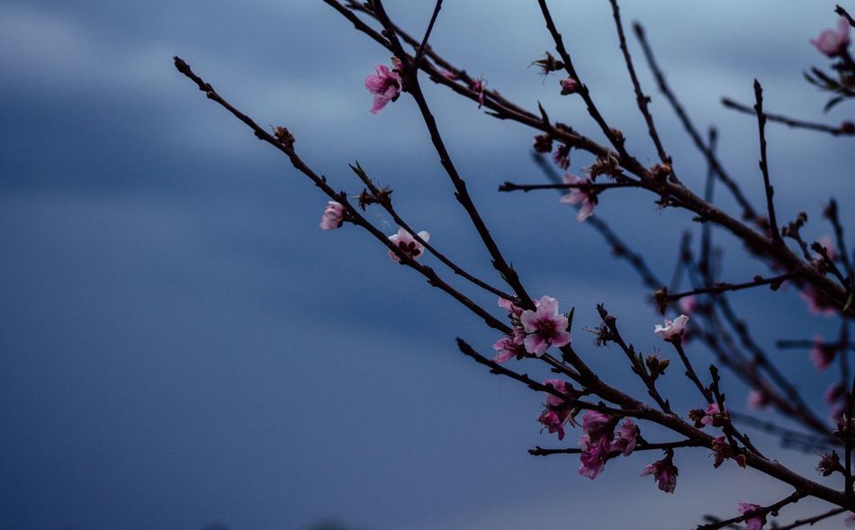 Peach Tree Blossoms Flower Tree Beauty In Nature Branch Nature Fragility Growth Blossom Twig Springtime No People Low Angle View Day Freshness Pink Color Outdoors Peach Blossom Close-up Sky Flower Head Artiseverywhere Art Is Everywhere