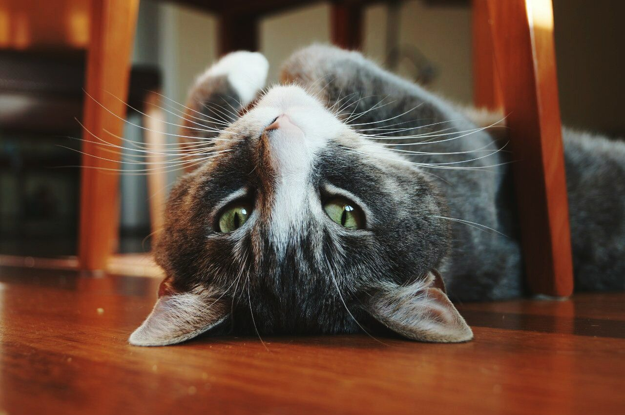 Beautiful stock photos of russia, Animal Themes, Close-Up, Domestic Animals, Domestic Cat