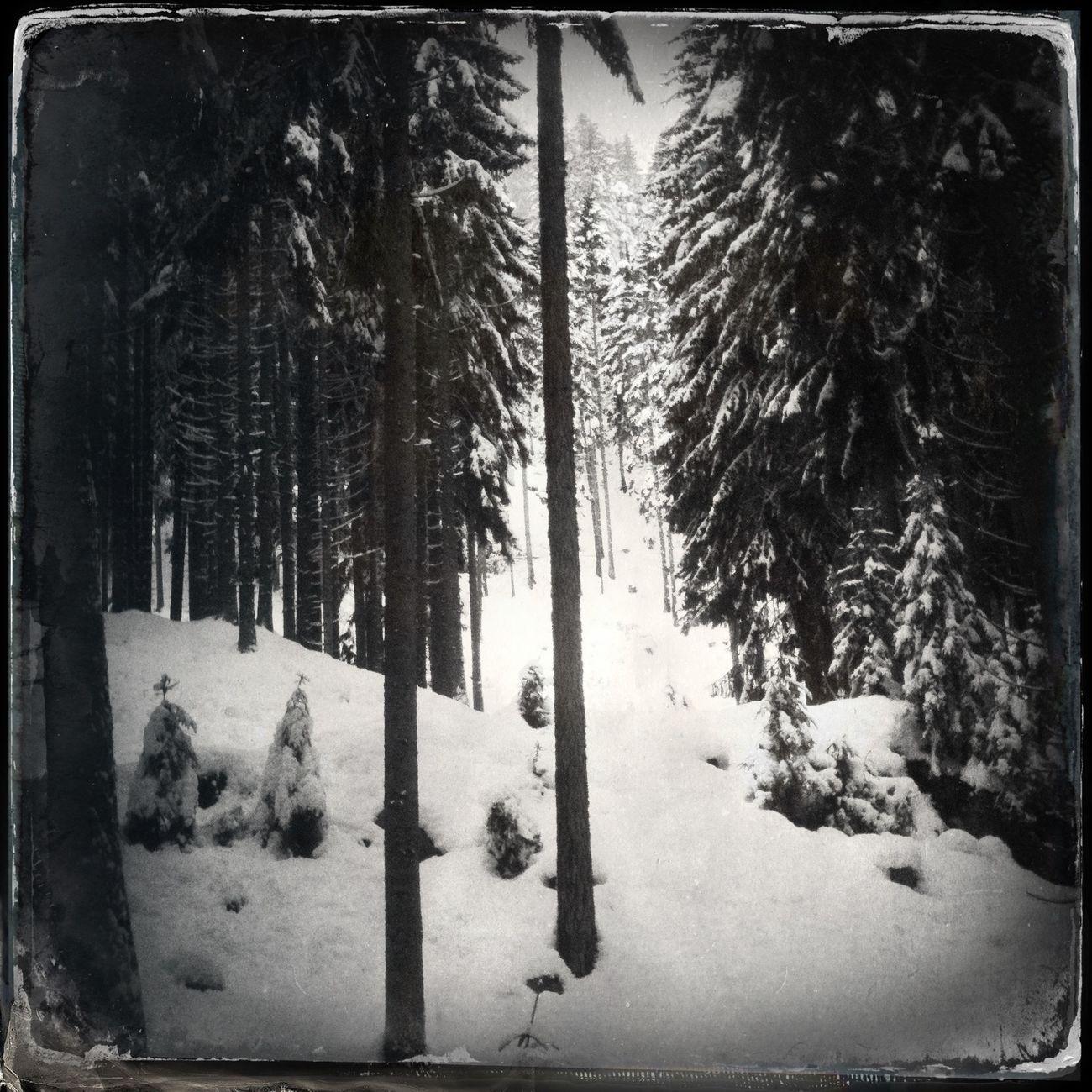 High trees Blackandwhite Hipstamatic Trees The_guido