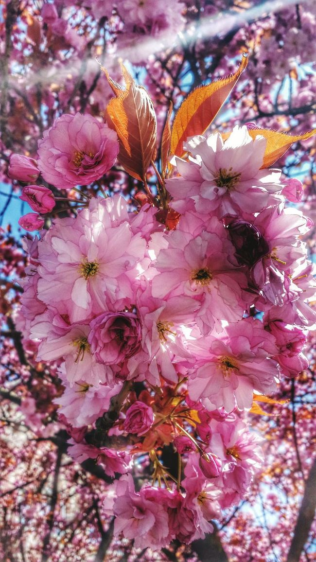 🌸 Flower Flower Head Blossom Blossoms  Cherry Blossoms Cherry Blossom Beautiful Nature EyeEm The Best Shots Branch Naturelovers Eye4photography  Naturephotography Nature_collection Awesome_shots Awesome_nature_shots Beautiful EyeEm Best Shots - Nature Epic Shot Photography EyeEm Best Shots Flowerporn Close-up Flowers,Plants & Garden Flowers, Nature And Beauty Nature Photography EyeEmBestPics