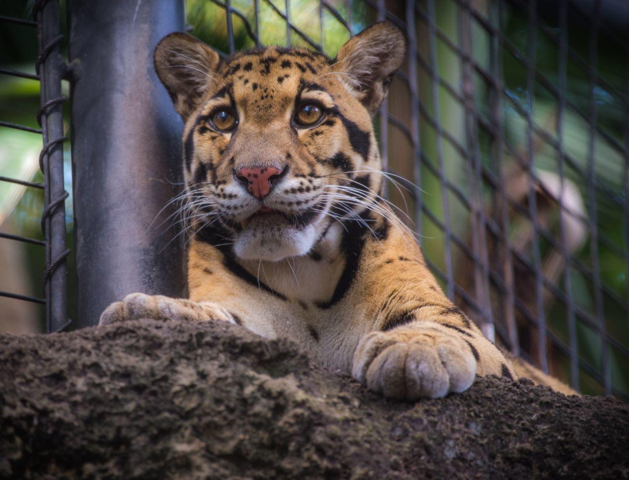 Beautiful stock photos of jaguar, Animal Themes, Animals In Captivity, Big Cat, Close-Up