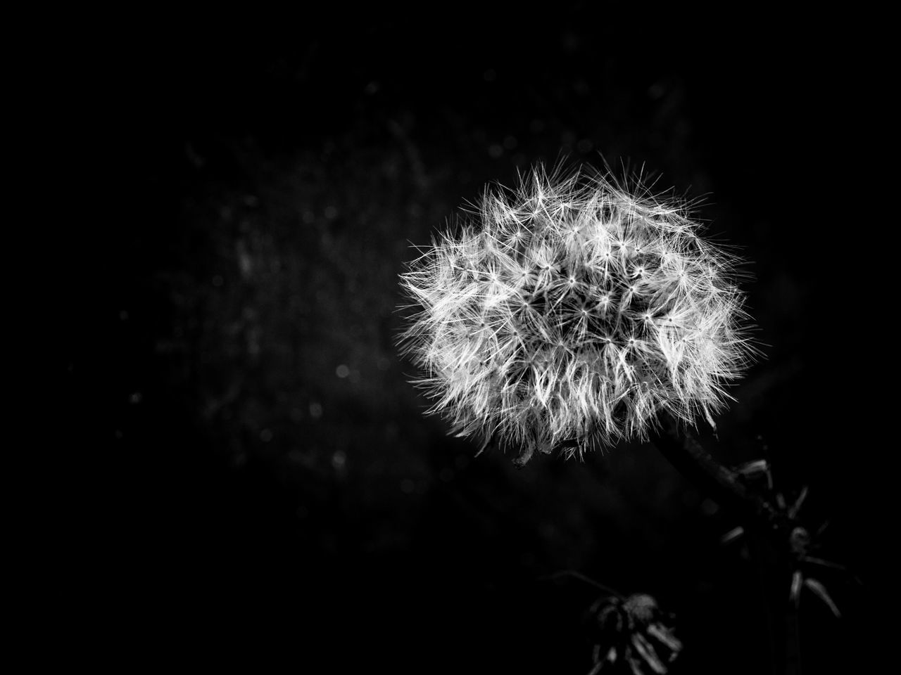 Beauty In Nature Black Background Blowball Close-up Dandelion Dandelion Seed Flower Flower Head Focus On Foreground Fragility Freshness Growth Nature No People Outdoors Plant Softness Springtime