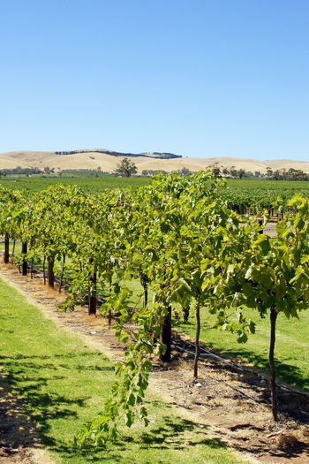 Barossa valley, Australia Agriculture Australia Barossa Valley Blue Clear Sky Countryside Day Farm Flora Growth Landscape Mountain Range Nature No People Outdoors Plant Rural Scene Scenery Scenics Tourism Travel Travel Destinations Vineyard Viniculture Wine