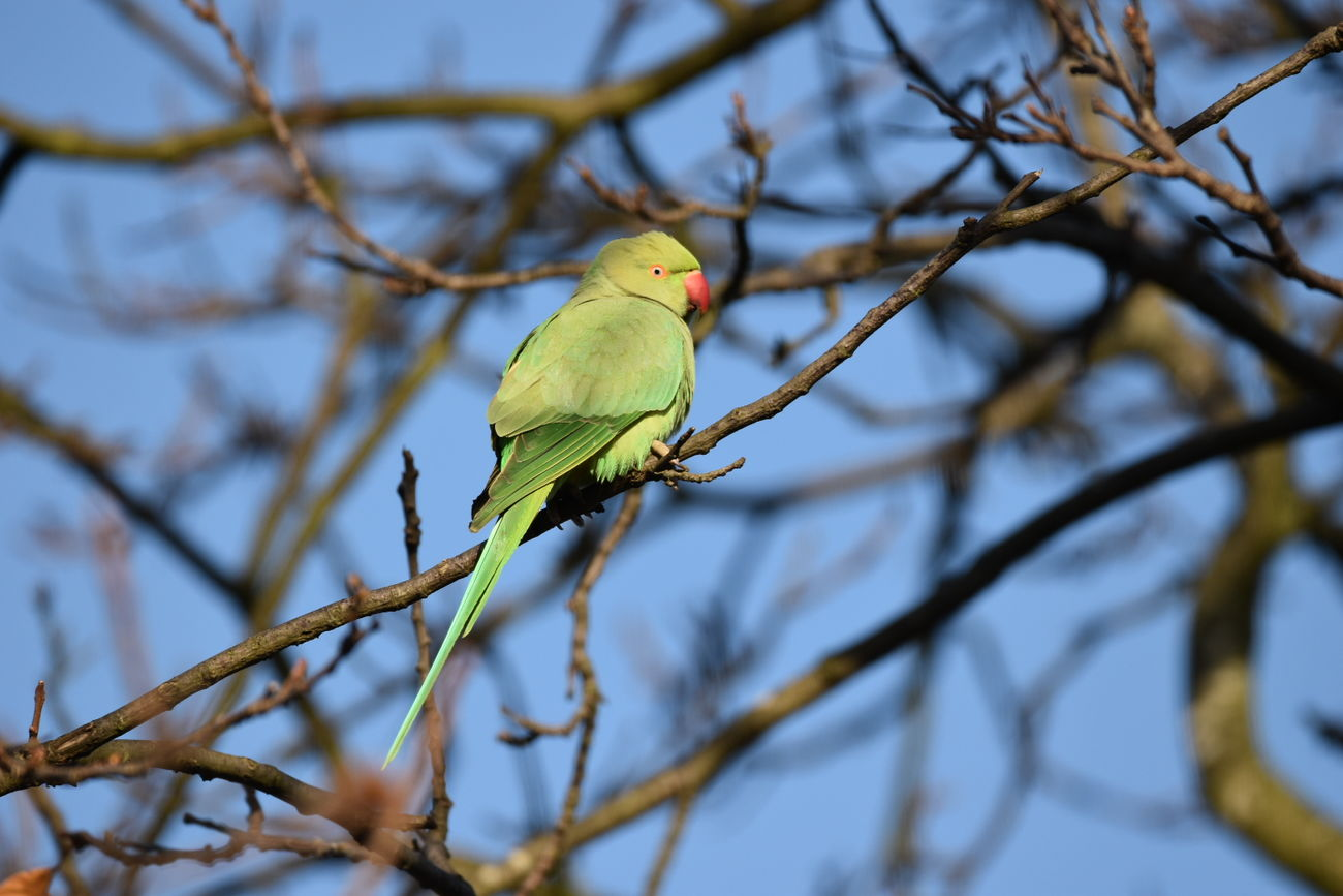 parakeet Branch Bird Perching Animal Wildlife Tree Animal Animals In The Wild One Animal Beauty In Nature Nature Animal Themes Outdoors No People Day LONDON❤ Greenwich Park