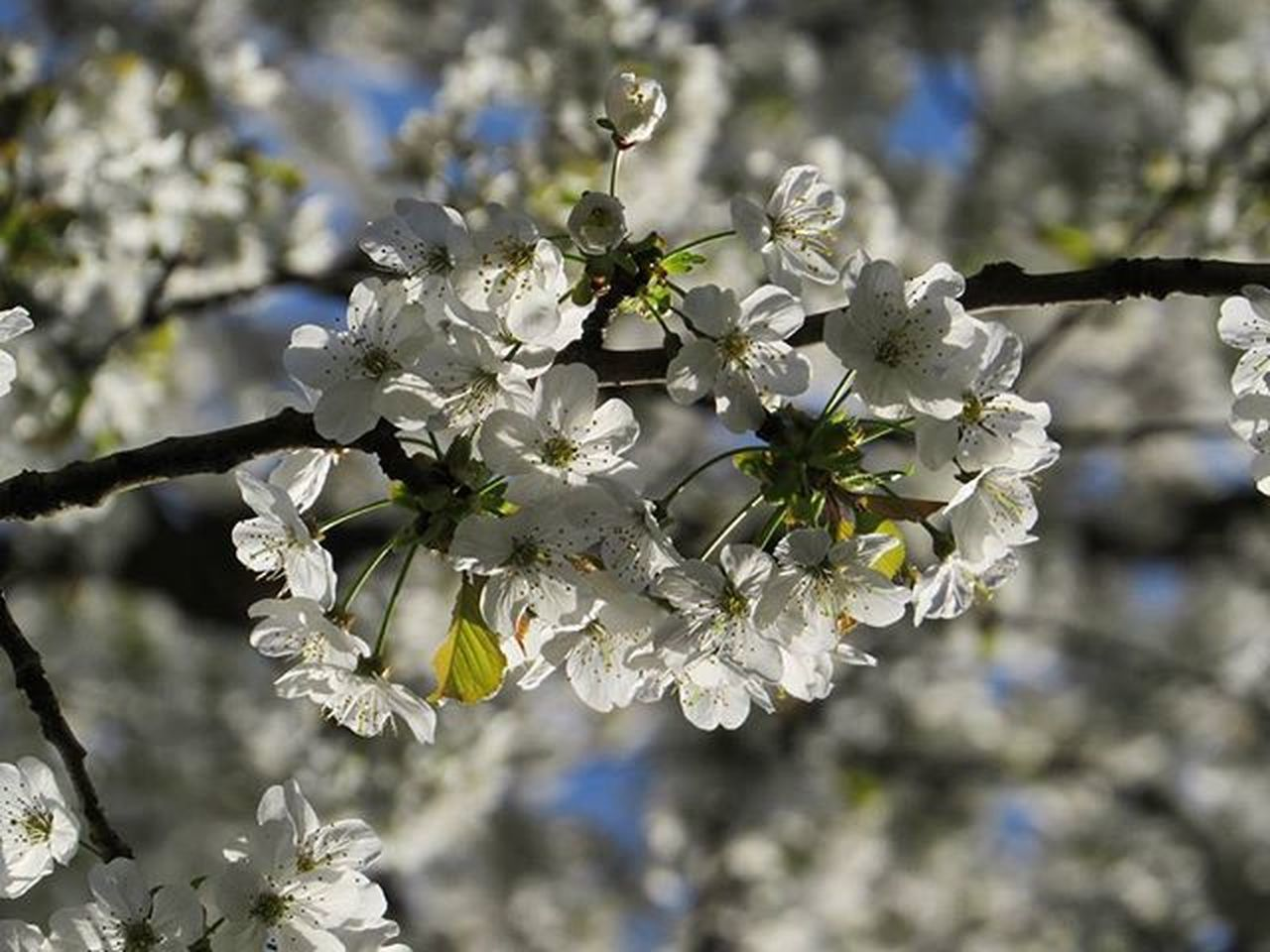 Flowering Floweringflower Floweringcherry Tree Forest Nature Naturerlebnis Chillout Nature_perfection Natgeo Natgeotravel Natgeotravelpic Lonelytree Nofilter Spring Fotofanatics_nature Fotofanatics_macro Fotofanatics_flowers Ponyfony_flowers