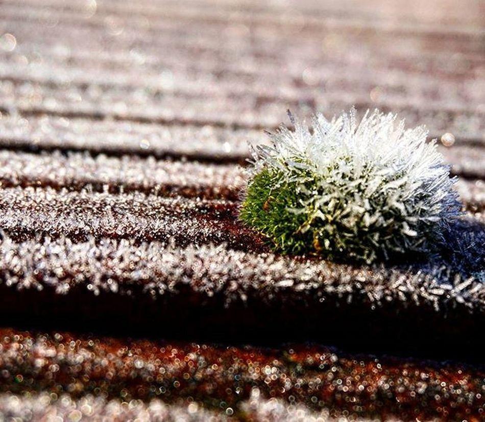 Poranek temperatura -3 :-) Frost Bryophyte Bryophyta Mech Roof Rooftop Ice Aftermorning Photo Makro Makrophotography By  Sony Alfa A6000 Bodykit Green Natural Sonyalphaa6000 Patryk Photographer Sonypolska Sonypoland