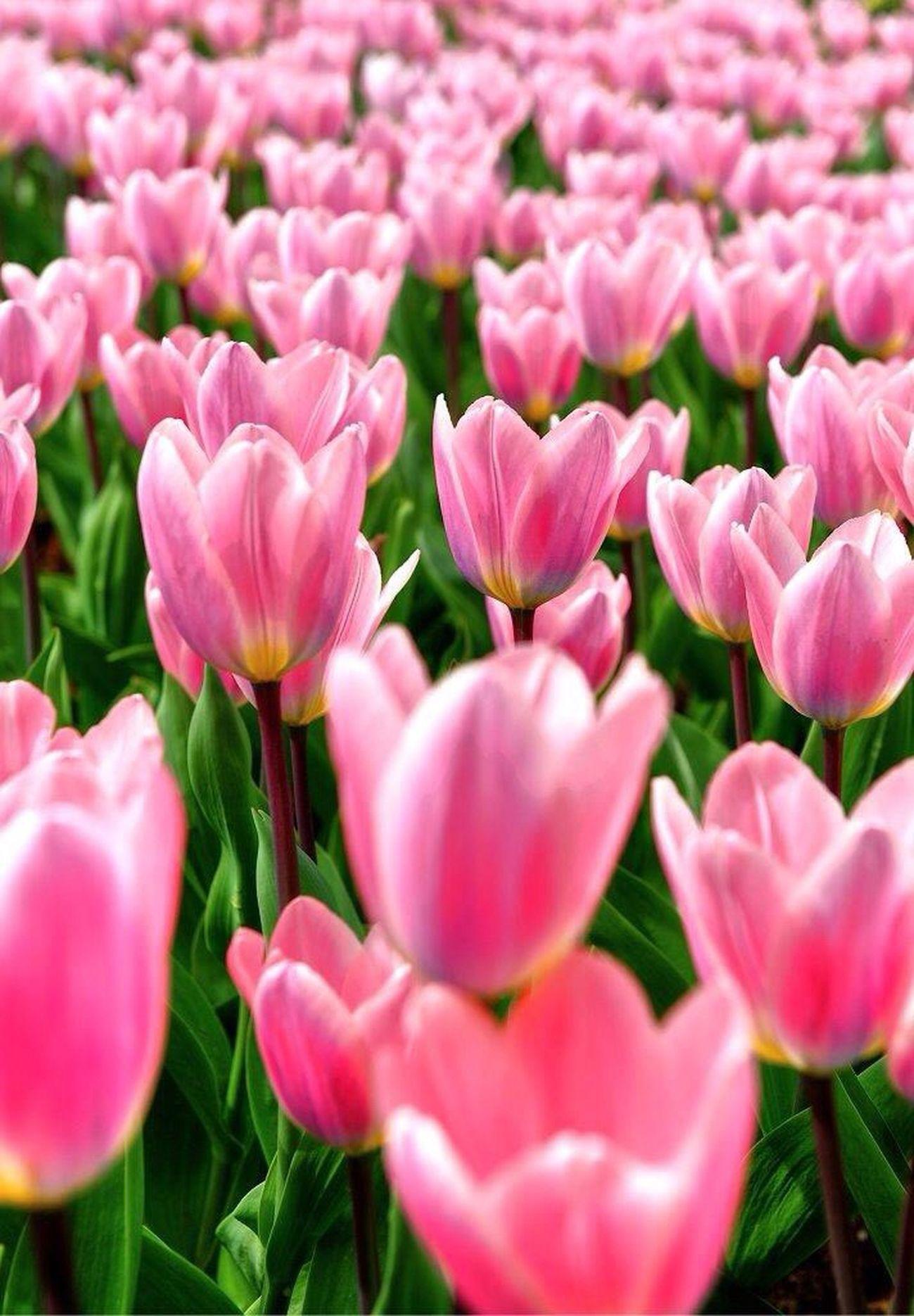 Flowers Flower Tulips🌷 Tulip Tulpen Tulipan Keukenhof Keukenhof Garden Kaukenhof Holandia Holland