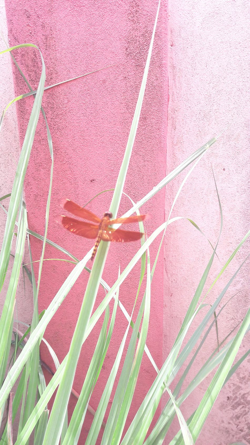 Memoirs. Pink Color Insect Dragonfly Green Memoir Bugslife Flying Wings High Angle View Outdoors Red No People Close-up Day EyeEmNewHere Long Goodbye Rain Drops On Leaves Clean Water EyeEm Best Shots Pastels