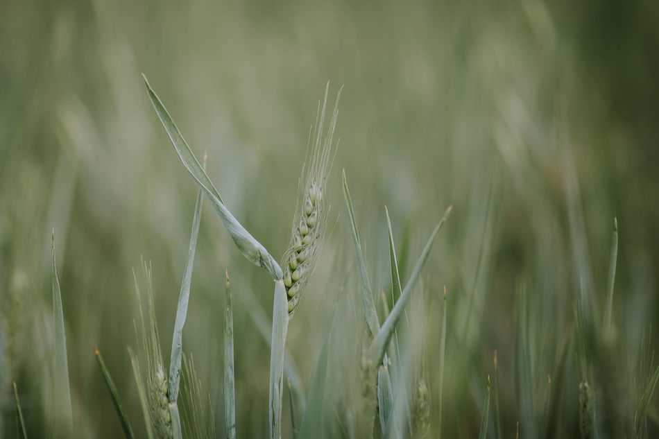Agriculture Beauty In Nature Cereal Cereal Plant Close-up Crop  Day Ear Of Wheat Field Freshness Grass Green Color Growth Nature No People Outdoors Plant Rural Scene Wheat Wheat Wheat Field