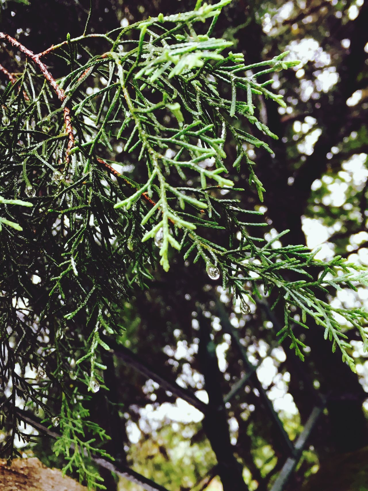 Nature Growth Tree Green Color Beauty In Nature No People Branch Day Outdoors Forest Close-up Needle - Plant Part Needle Freshness