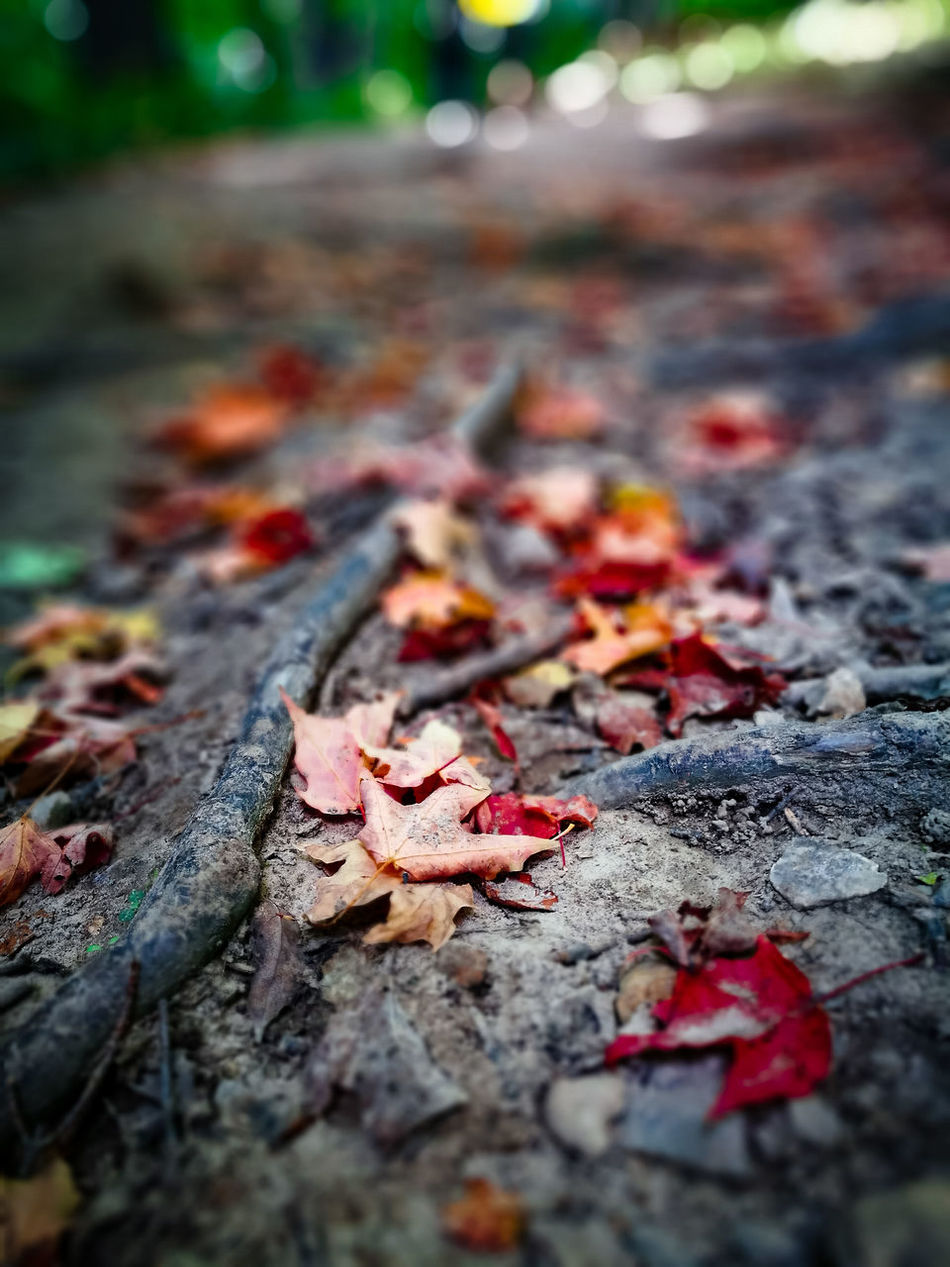 Autumn Change Close-up Day Hiking Leaf Leaves Maple Leaf Nature No People Outdoors Red Trail