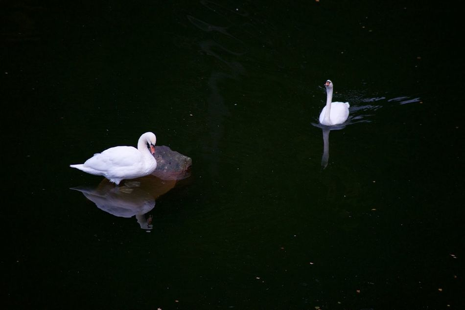 Animals In The Wild Bird Wildlife Animal Themes Water Lake White Color Reflection Swimming Swan Floating On Water Nature Tranquility Waterfront Water Surface Water Bird Zoology Beauty In Nature Outdoors No People Langenwaldsee Black Forest Germany Freudenstadt