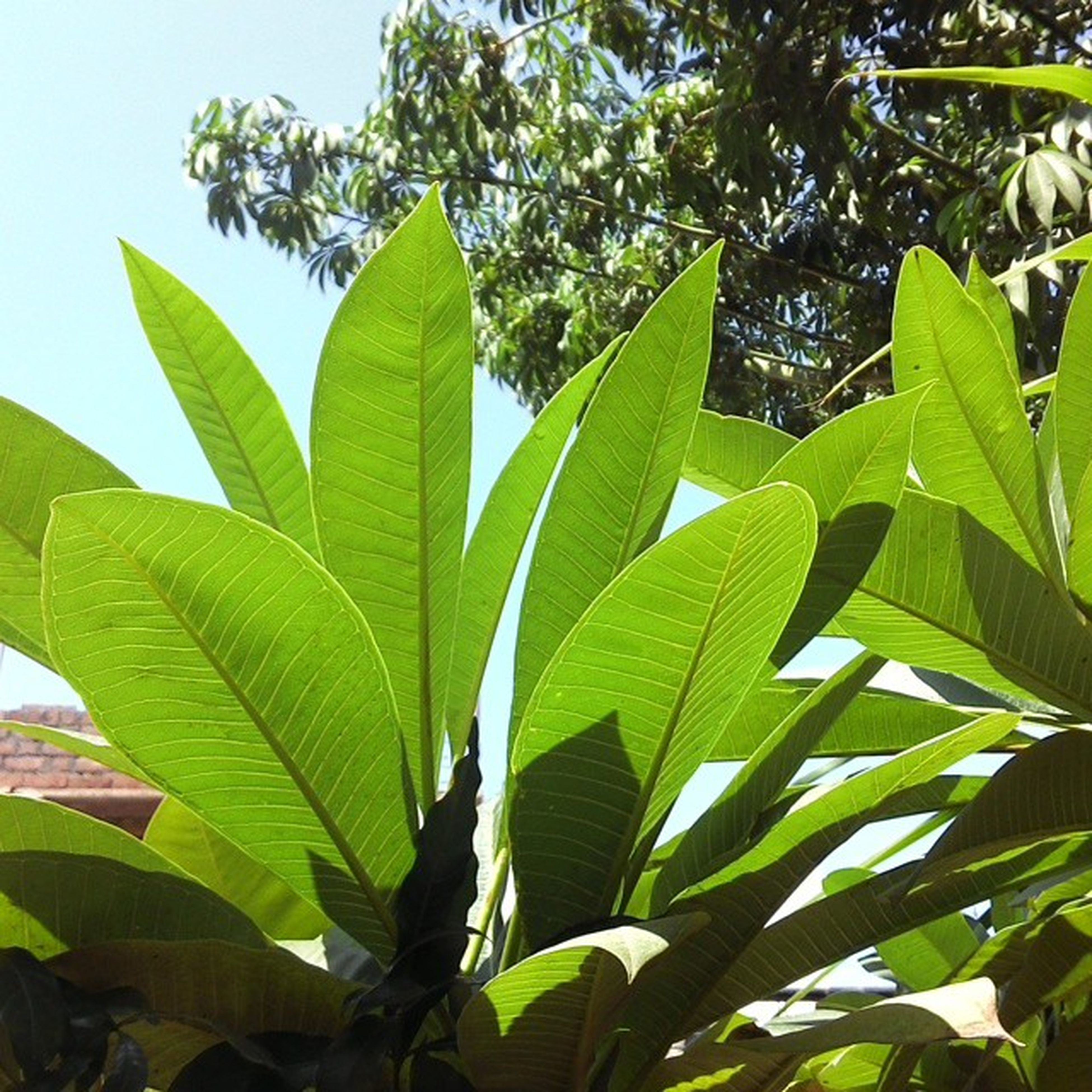 leaf, growth, green color, plant, nature, tree, close-up, leaf vein, low angle view, leaves, beauty in nature, branch, sunlight, outdoors, day, tranquility, green, sky, focus on foreground, no people