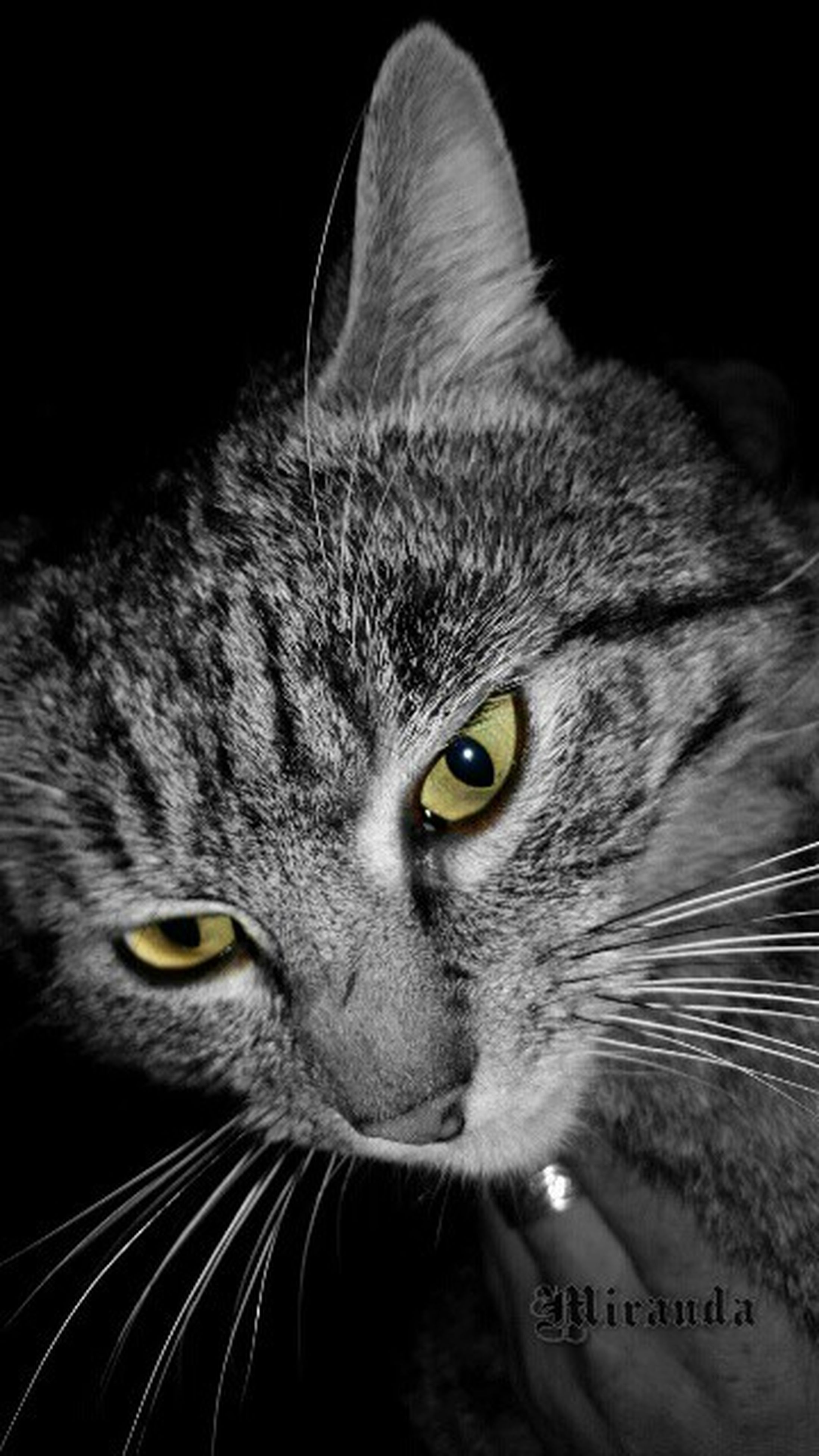 domestic cat, one animal, animal themes, cat, pets, domestic animals, feline, whisker, portrait, close-up, looking at camera, animal head, black background, animal eye, mammal, studio shot, indoors, staring, animal body part, alertness