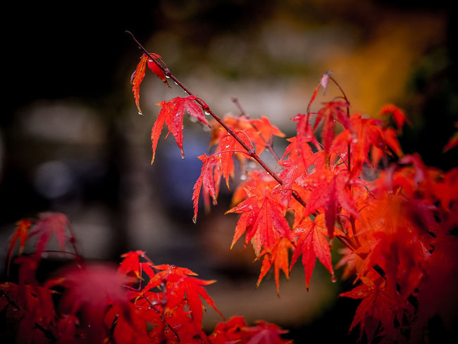 Autumn Autumn Autumn Collection Autumn Colors Autumn Leaves Autumn🍁🍁🍁 Beauty In Nature Change Close-up Day Fall Focus On Foreground Foliage Foliage, Vegetation, Plants, Green, Leaves, Leafage, Undergrowth, Underbrush, Plant Life, Flora Growth Leaf Maple Leaf Nature No People Outdoors Rain Raindrops Rainy Day Rainy Days Red