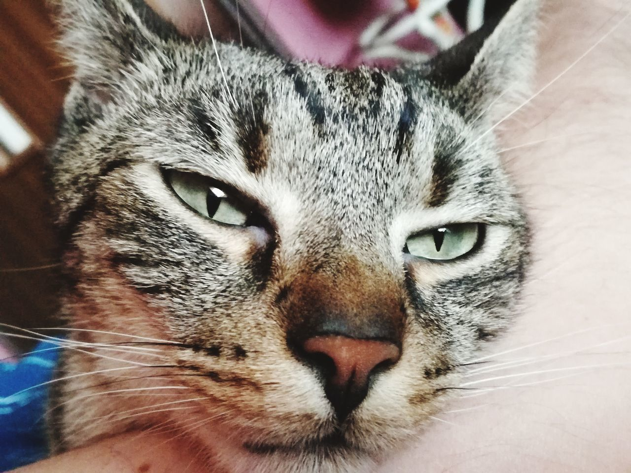 close-up, one animal, domestic cat, animal themes, portrait, whisker, pets, domestic animals, looking at camera, indoors, mammal, no people, day