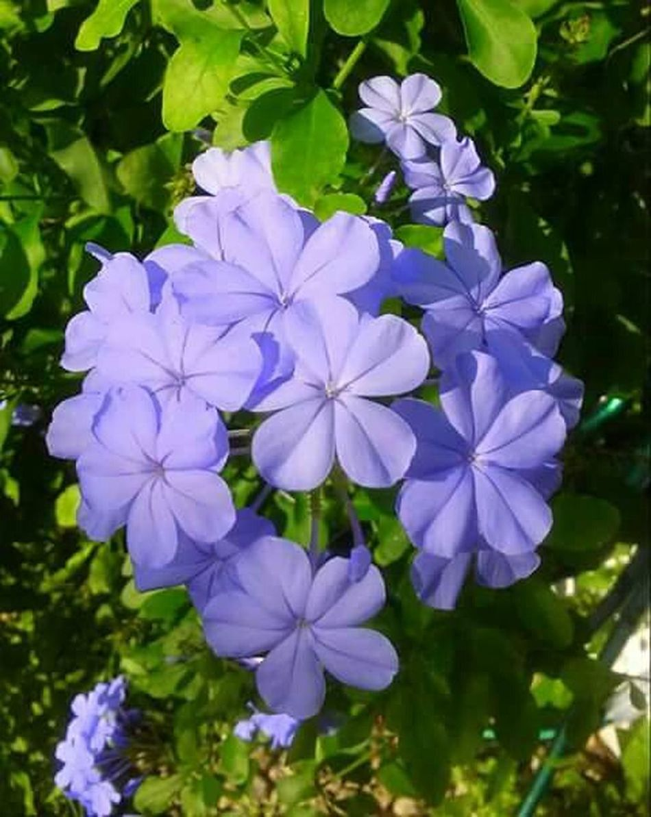Blue Plumbago Flower Beauty In Nature Petal Close-up Nature In Bloom Springtime Outdoors Lakeland Florida