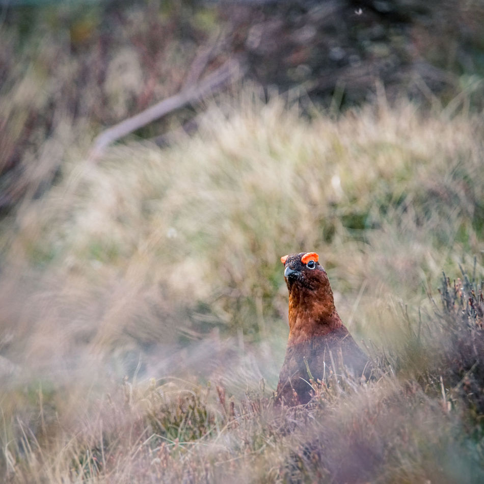 Animals In The Wild Bird Day Grouse Moorland Nature No People One Animal Outdoors Red Grouse