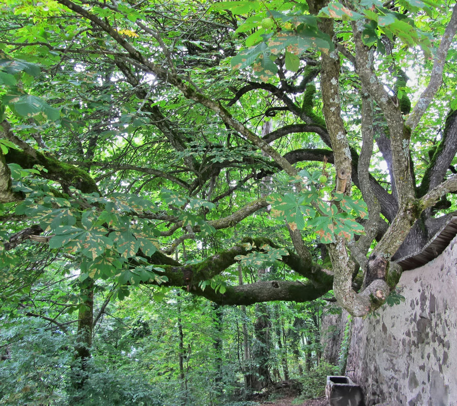 Big chestnut tree in the woods in Castelrotto, Italy Bark Castelrotto Chestnut Tree Flora Forest Freshness Green Illuminated Italy Leaf Light Log Lush Foliage Nature Outdoors Plant Rural Spiny Tilt Up Tranquility Tree Tree Trunk Twig Wood Woods
