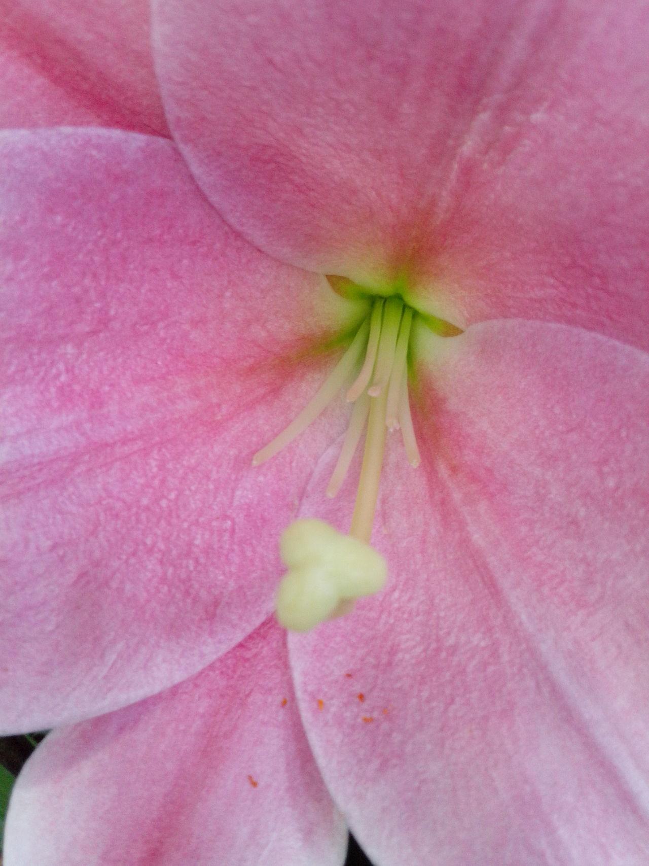 Nature Textures Lily Close Up Pink