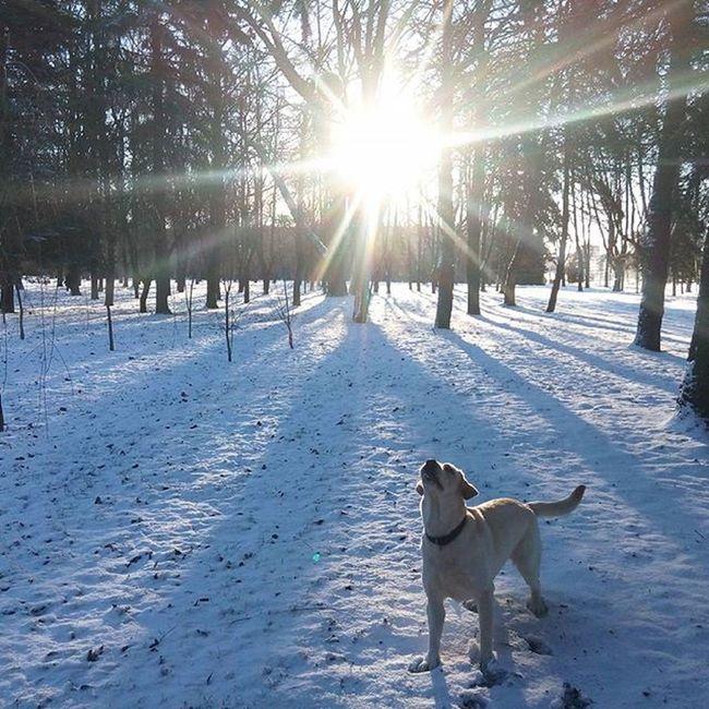 Labrador Retriever Lab Dog Dogs Puppy Play Jessica Snow Toy Cute Instadog Instagram Lovemydog Lovedogs Happydog Mylove Petstagram Lablove LabradorRetriever