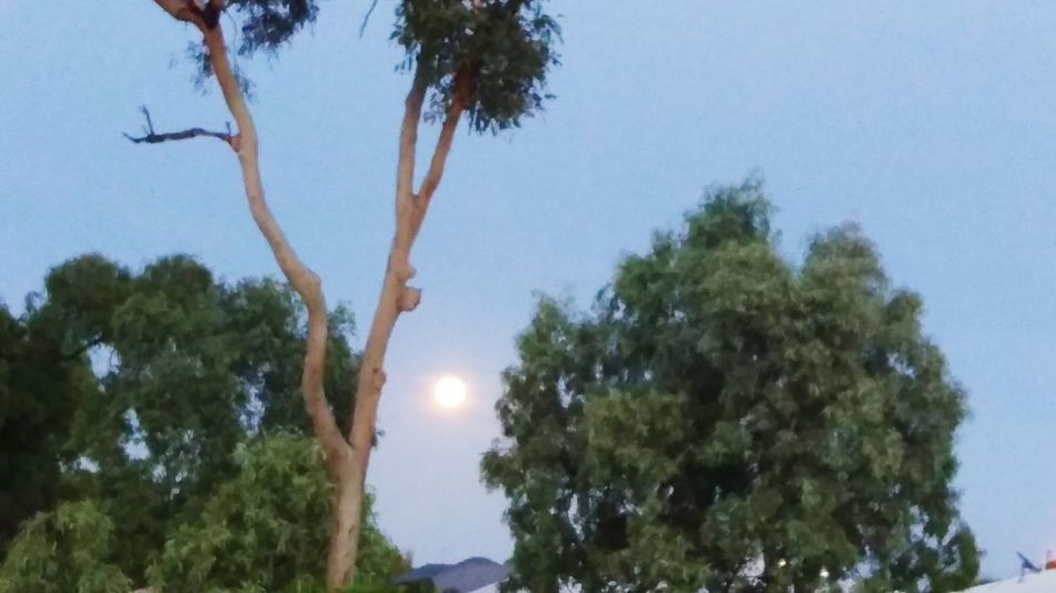 Moon setting in the early morning Tree Nature Outdoors Sky Beauty In Nature Scenics No People Day Growth Water Branch Landscape Clear Sky Tree Area