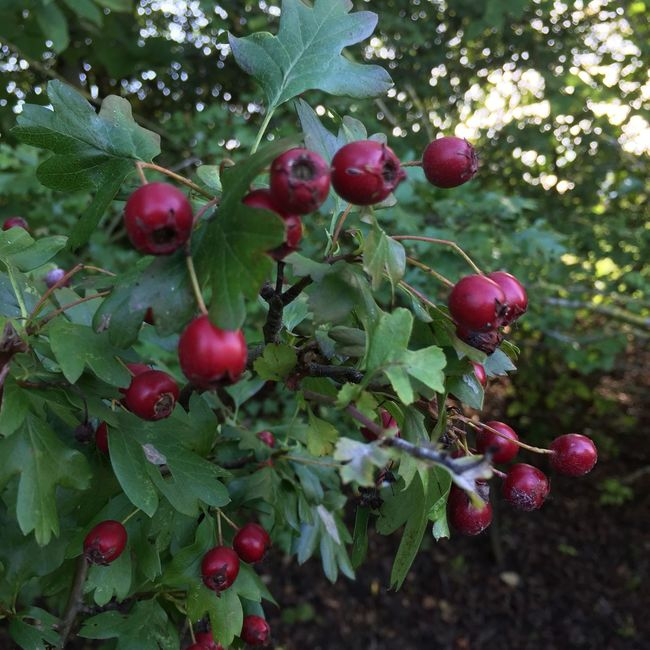 Growth Fruit Food And Drink Freshness Leaf Red Close-up Food Berry Nature Flower Green Day Plant Green Color Beauty In Nature Focus On Foreground Fragility Outdoors Hawthorn Berries Haws