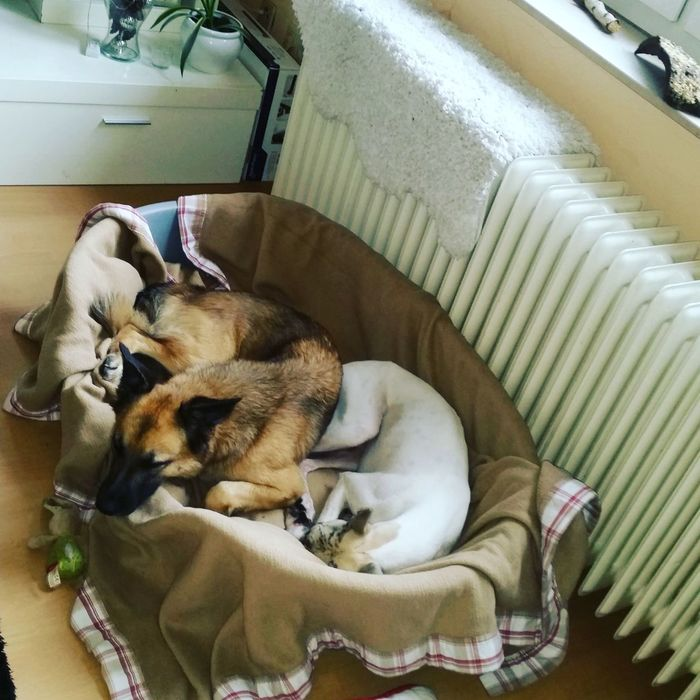 Indoors  Dog Malinois ❤ So Cute ❤ Whippet Bielefeld Relaxing Whippet Love Wipped