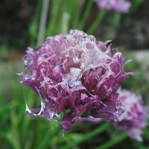 A sodden chive Nature Oldham Ig_britishisles