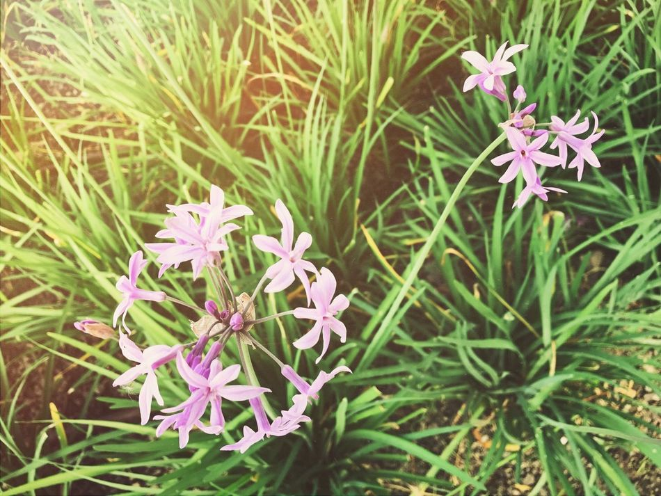 114/365 Flower Nature Plant Growth Beauty In Nature Green Color Outdoors Purple Pink Color No People Day Grass Fragility Leaf Close-up Freshness Blooming Flower Head