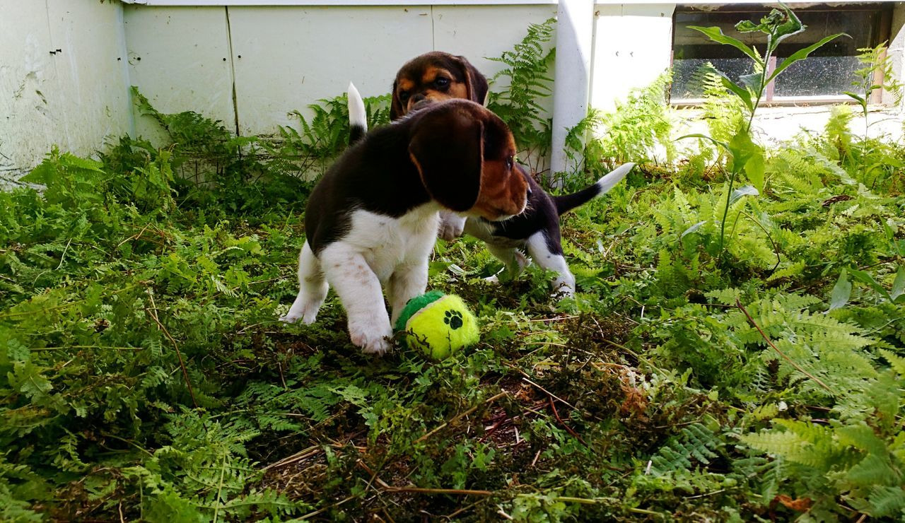 Beaglepuppy Beaglelove Nature Animals