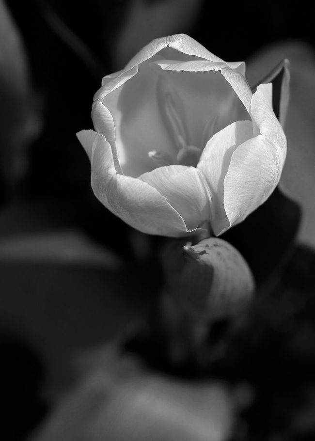 Beauty In Nature Black And White Blackandwhite Bloom Blossom Botany Close-up Flower Flower Head Focus On Foreground Fragility Freshness Growing Growth In Bloom Nature Outdoors Petal Plant Selective Focus Single Flower Single Rose Springtime Stem Tulips