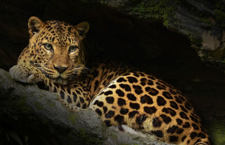 Beautiful stock photos of leopard, Animal Themes, Animals In Captivity, Day, Full Length