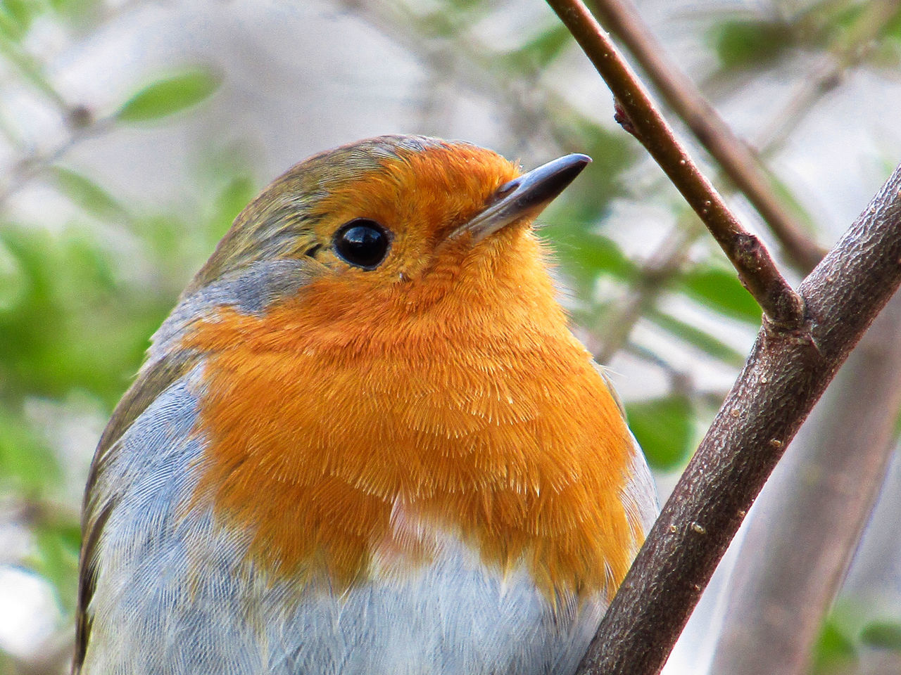 Animal Themes Animal Wildlife Animals In The Wild Beak Bird Close-up Day Focus On Foreground Nature No People One Animal Outdoors Perching Robin Robin Redbreast Tree