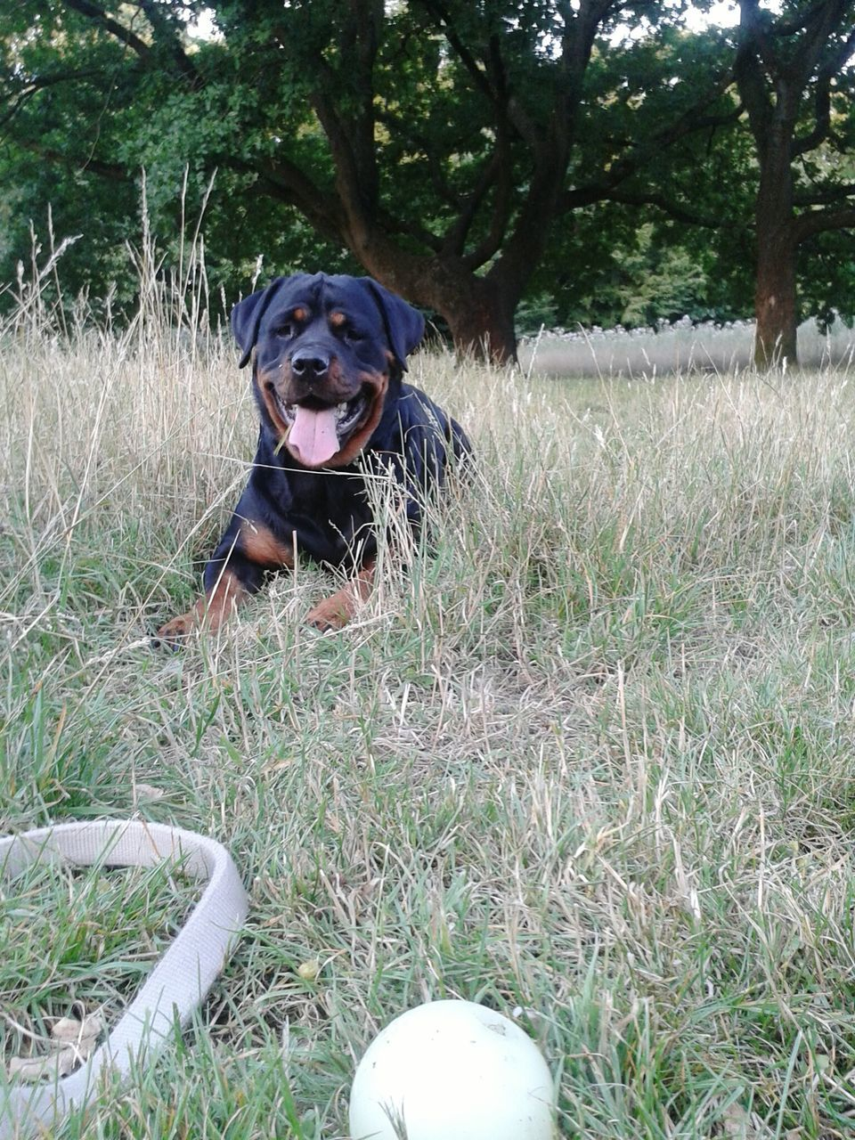 Portrait Of Rottweiler Lying Down On Grass