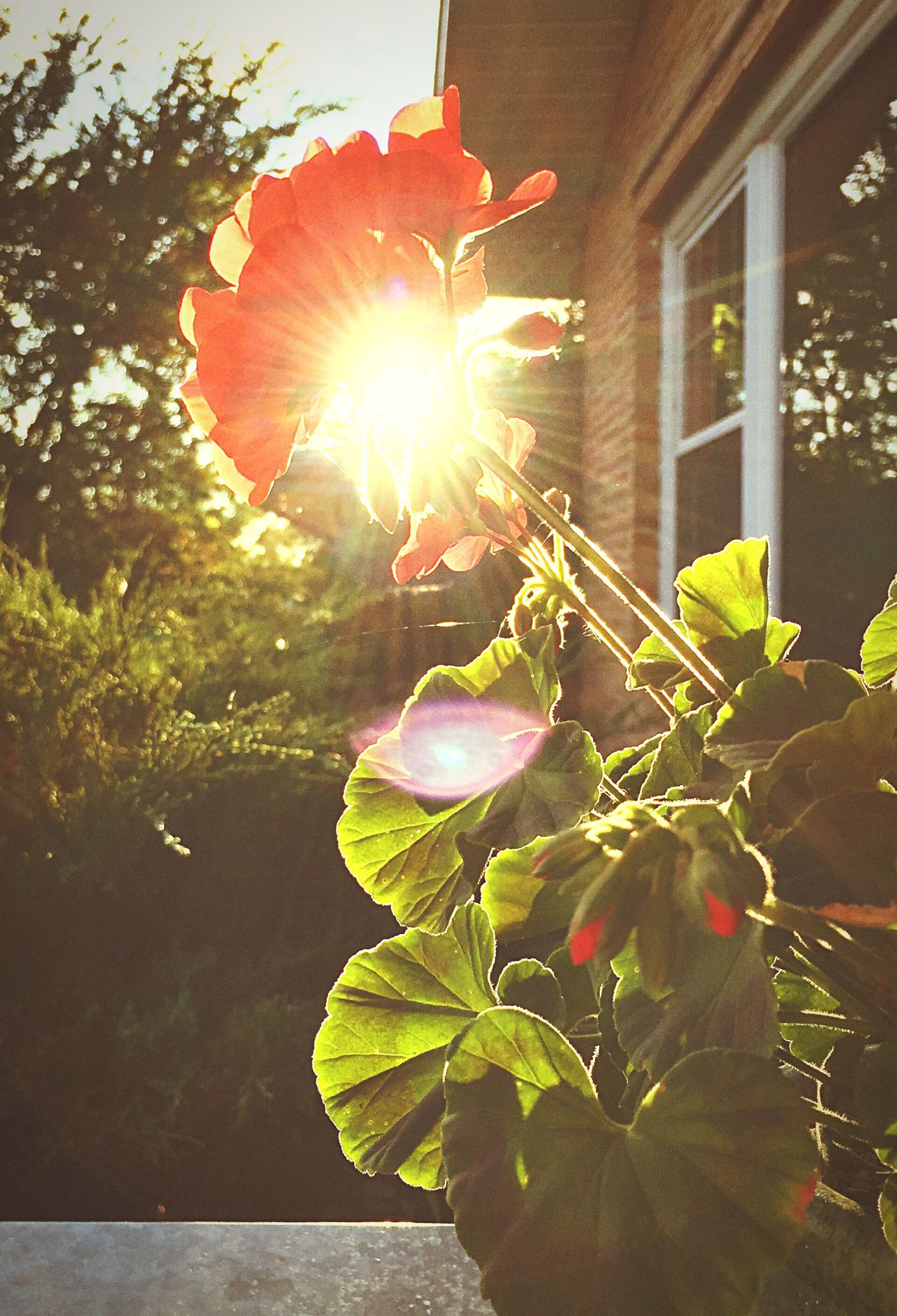 Different angle from before of the dan flower Flower Sunlight Growth Building Exterior Sunbeam Built Structure Architecture Freshness Leaf Close-up Front Or Back Yard Focus On Foreground Fragility Petal Plant Lens Flare Back Lit Springtime Sun Green Color