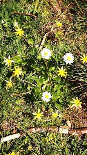Flowers Nature Daisies