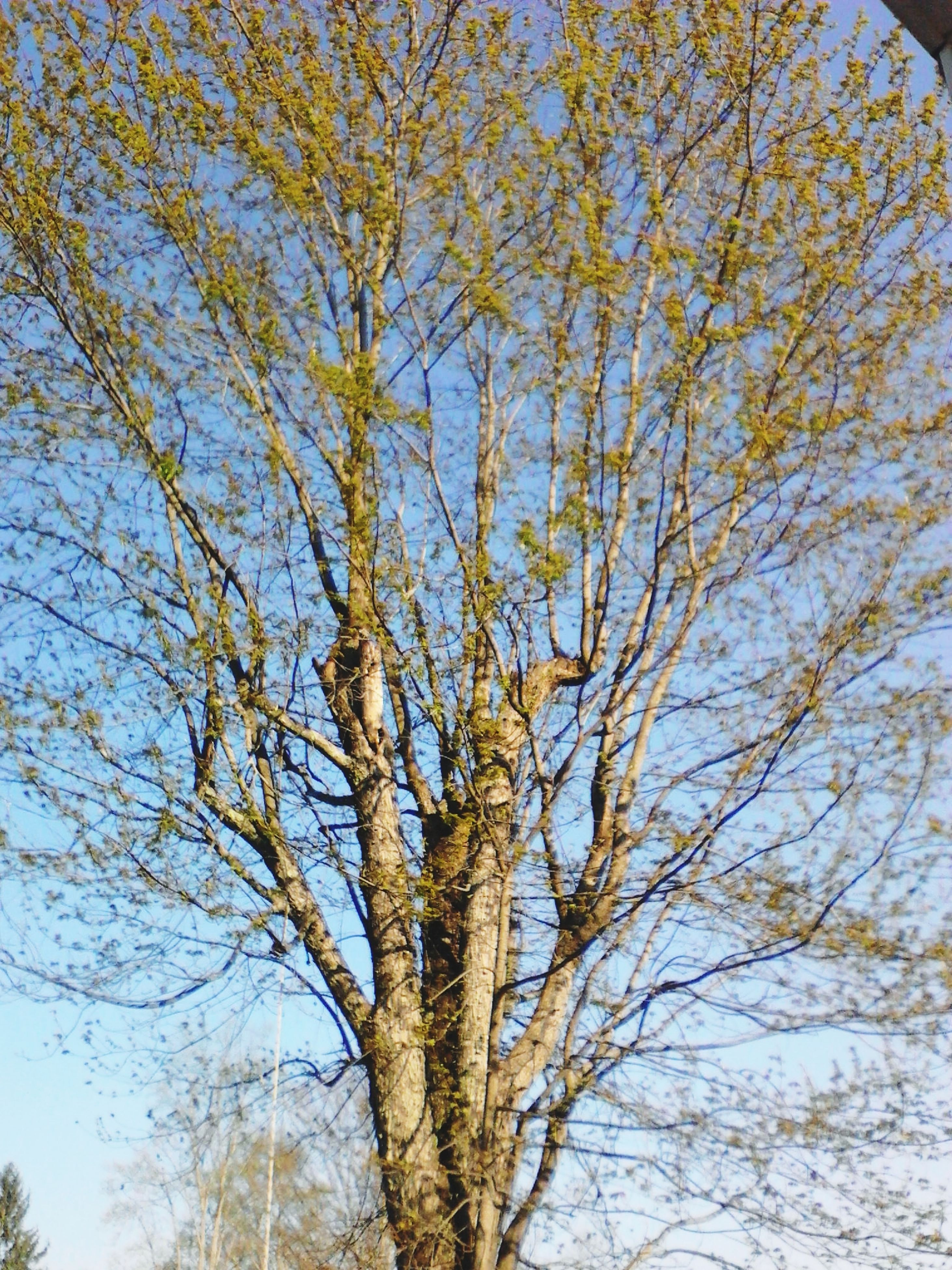 tree, low angle view, branch, growth, nature, tranquility, tree trunk, beauty in nature, sky, day, outdoors, scenics, no people, tranquil scene, clear sky, sunlight, blue, backgrounds, forest, green color