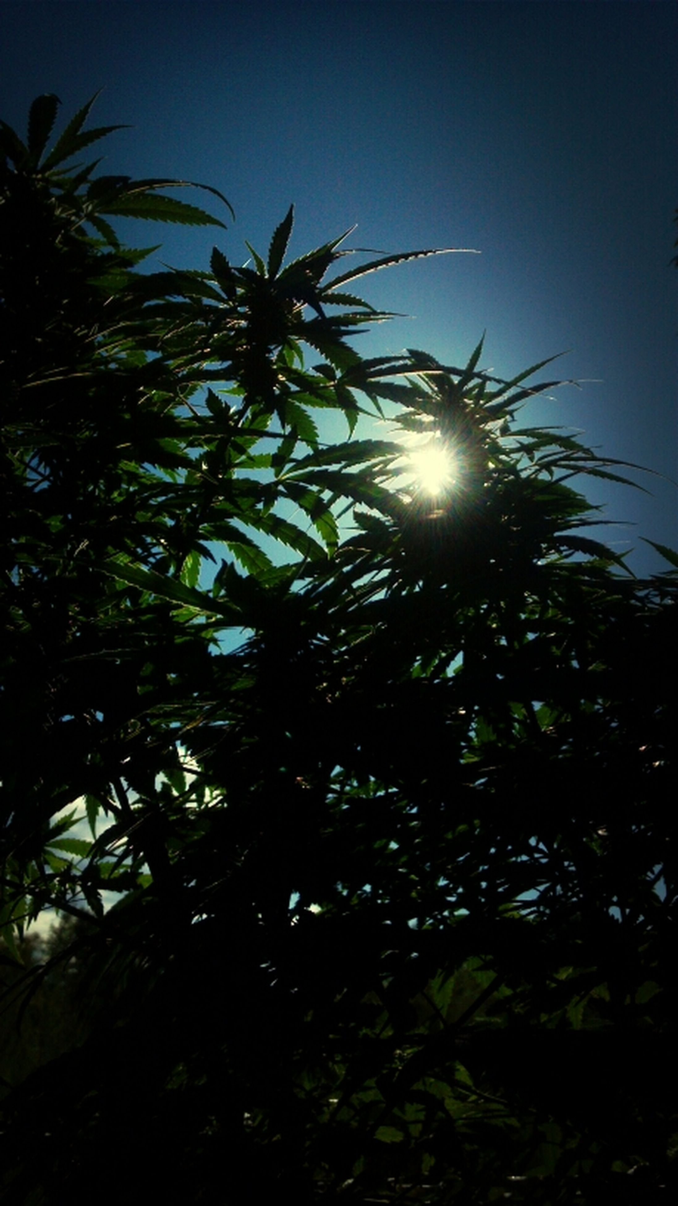 low angle view, growth, sun, tree, palm tree, clear sky, nature, sunlight, sky, beauty in nature, tranquility, sunbeam, lens flare, silhouette, outdoors, leaf, no people, plant, tranquil scene, day