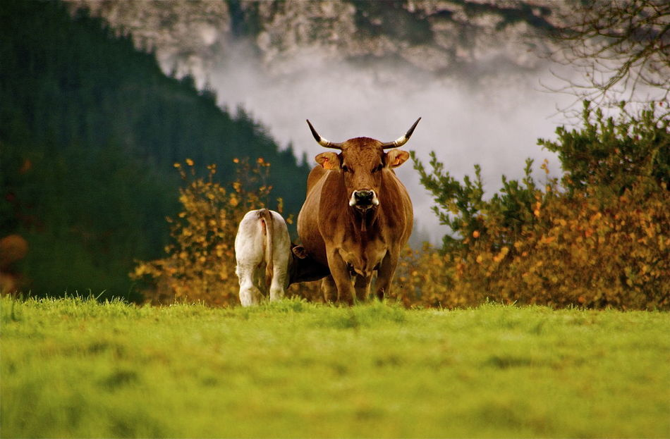 Beautiful stock photos of kühe,  Beauty In Nature,  Cow,  Day,  Domestic Animals