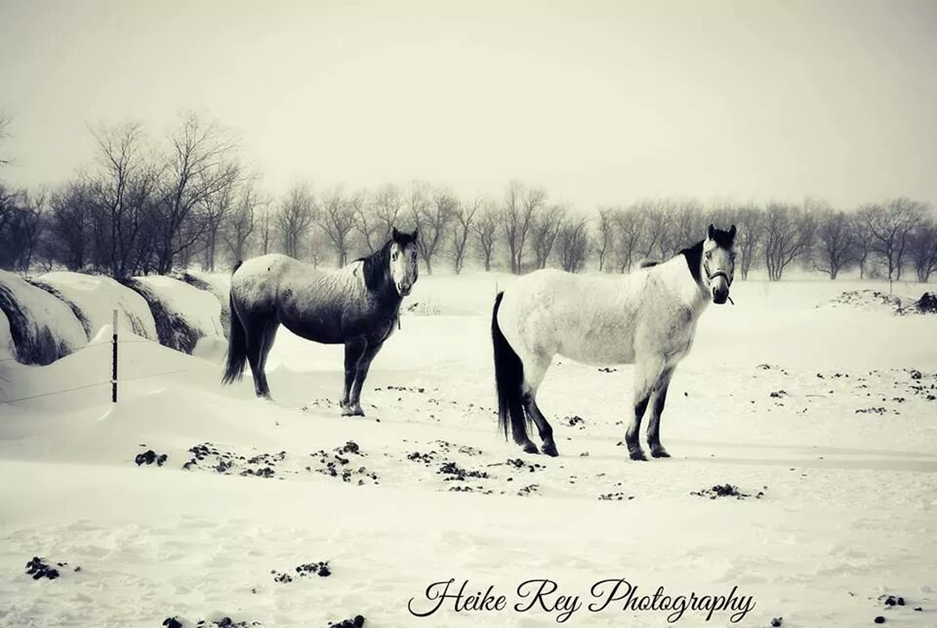 domestic animals, animal themes, snow, winter, cold temperature, horse, mammal, livestock, field, season, landscape, weather, white color, herbivorous, standing, working animal, nature, tree, covering, tranquility