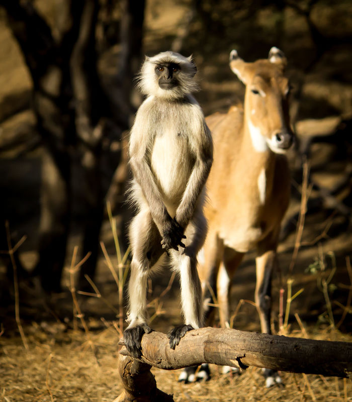 When the monkey stands in attention position. Animal Wildlife Animal Themes Animals In The Wild Animal Bird Outdoors No People Mammal Nature Day Close-up Attention Monkey Langur National Anthem Army Training Animal Training Langur Monkey Animals In The Wild Wildlife & Nature Golden Canon Animal Body Part Welcome Weekly