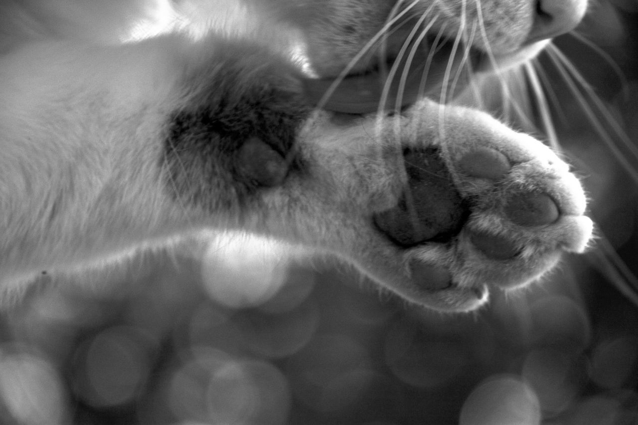 Cropped Image Of Cat Licking Paw