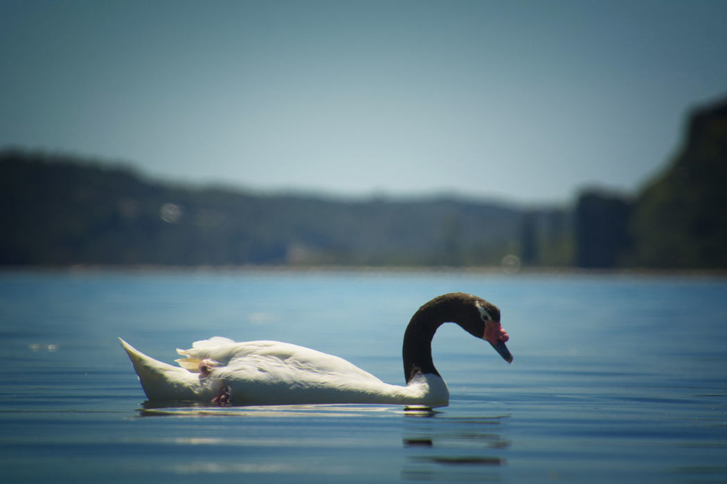 Swan Water Animal Wildlife Animals In The Wild Swimming Nature Animal Themes Outdoors No People Swans Swimming Lake Pajaro Ave Birding Birdphotography Bird Photography Cisne Cuello Negro Cisnecuellonegro