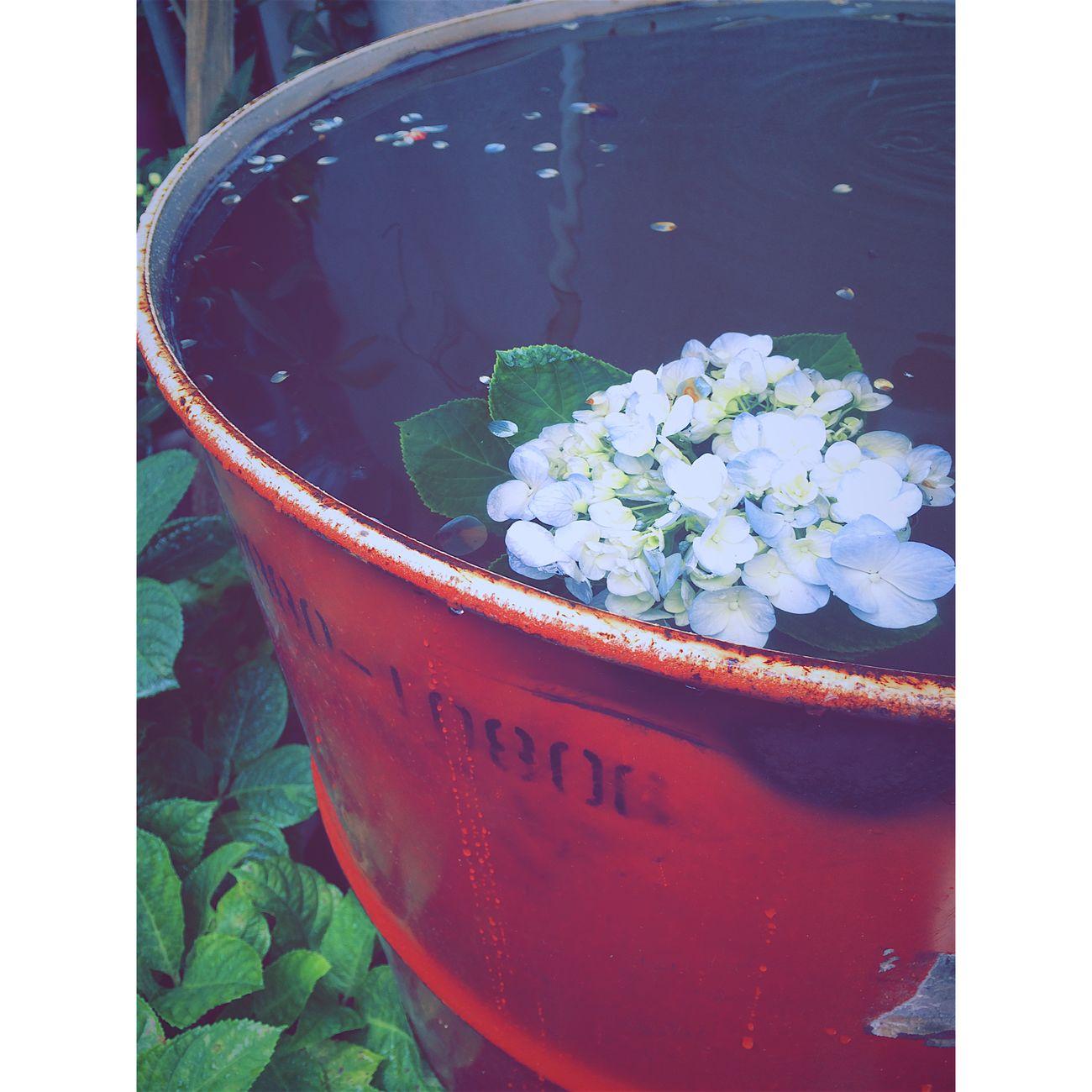 Flower Hydrangera