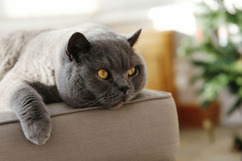 Meatball The Cat Cat Cat Lovers Catsagram British Shorthair British Blue Animals