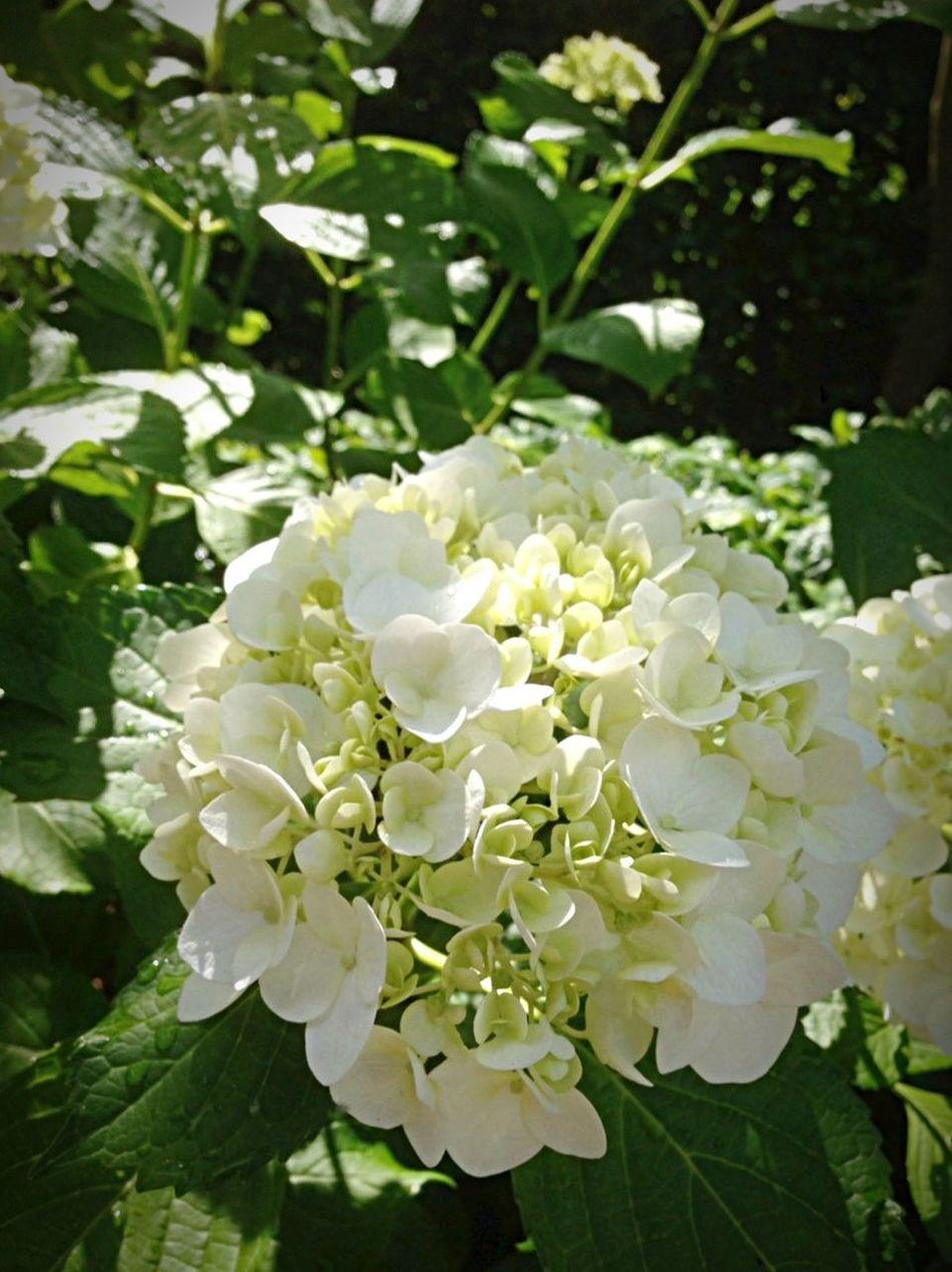 Kyoto Japan Mimurotoji Temple Uji Hydrangea Flower Today 京都 日本 三室戸寺 寺 紫陽花 花 宇治 今日