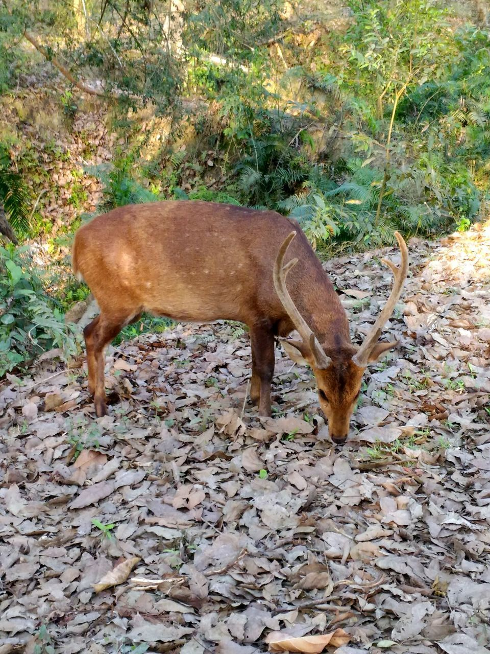 one animal, animal themes, field, mammal, animals in the wild, standing, brown, nature, day, no people, full length, outdoors, domestic animals